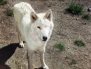 Monty wolf