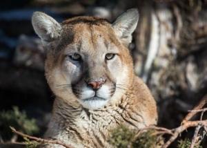 Daniel cougar