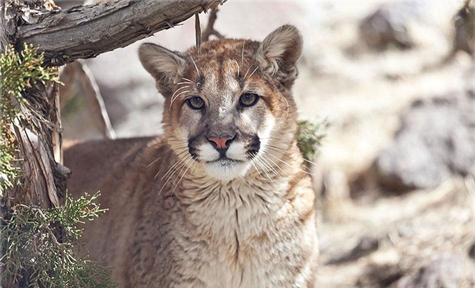 Daniel Mountain Lion at Animal Ark