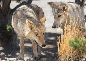 Wolves at Animal Ark