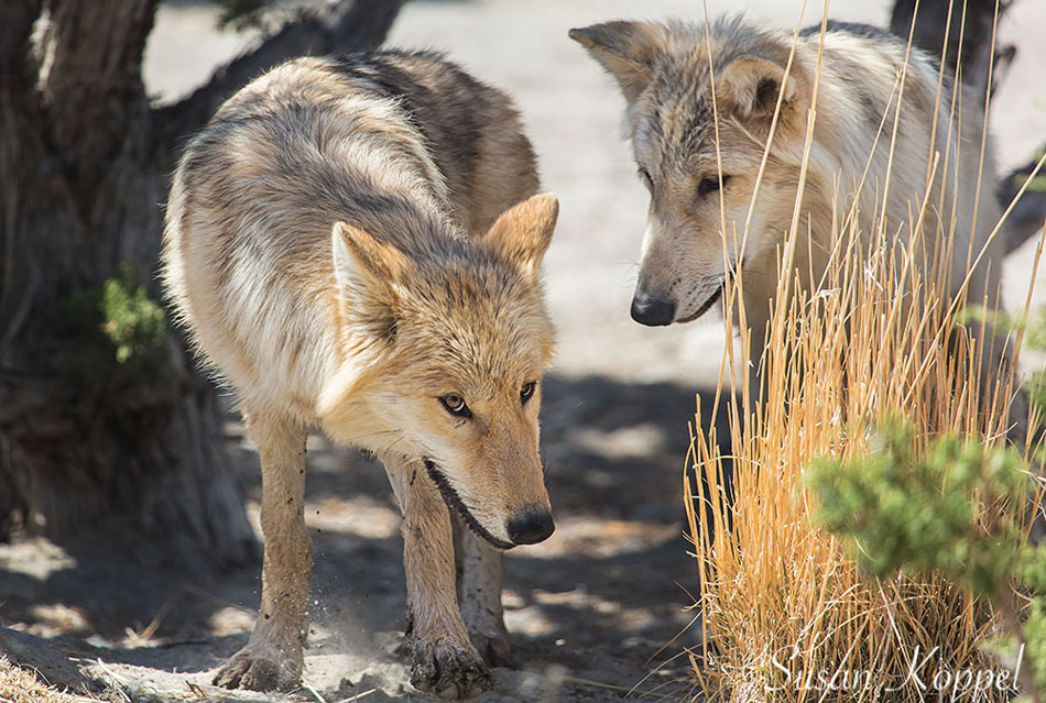 Wolves at Animal Ark