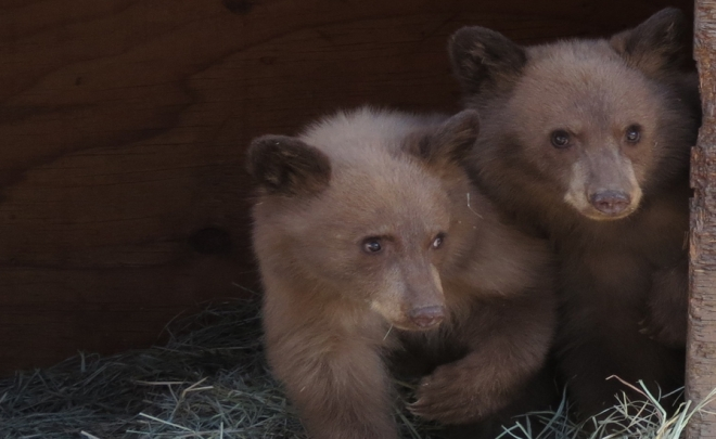 Orphan Cubs Need Help