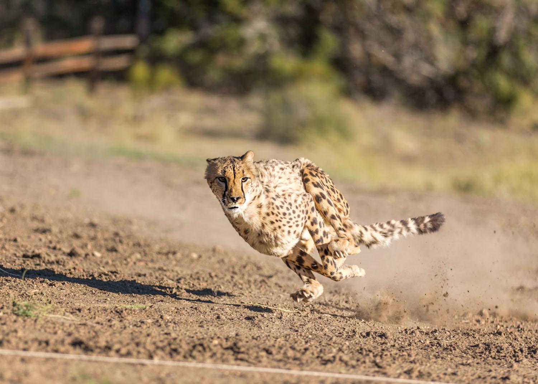Cheetah 500