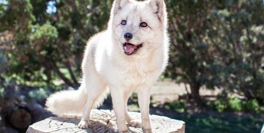 Koda arctic fox