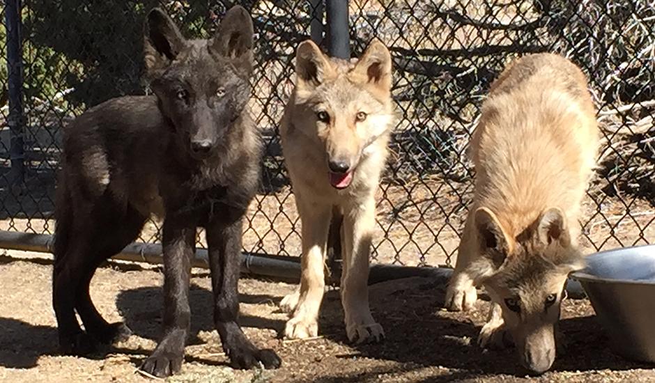 Gray Wolf - Animal Ark