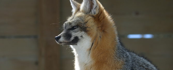 Canidae Animals | www.pixshark.com - Images Galleries With ...