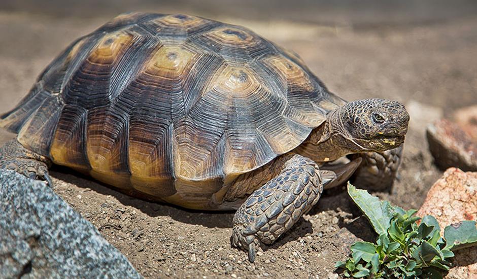 Desert Tortoise - Animal Ark