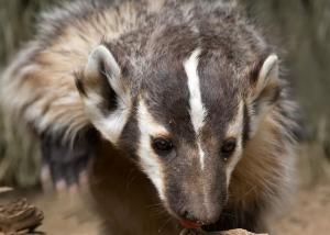 badger-trixie-2