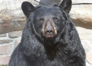 black-bear-gracie