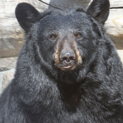 black-bear-gracie