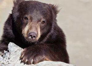 black-bear-lg