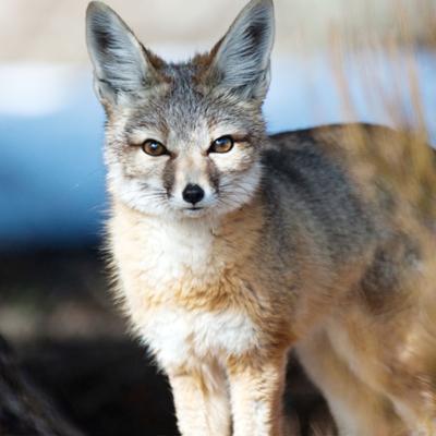 kit-fox