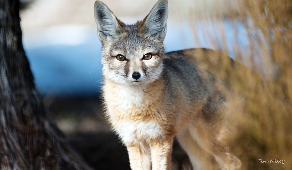 Kit Fox - Animal Ark