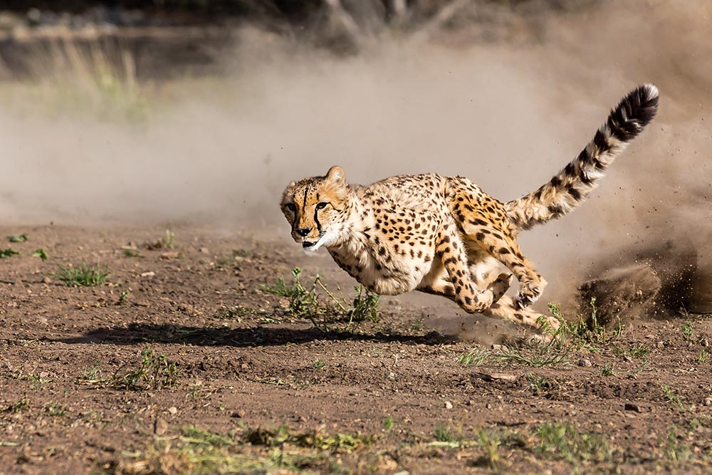 Animal Ark All American Cheetah Dash - Animal Ark | 1000 x 667 jpeg 184kB