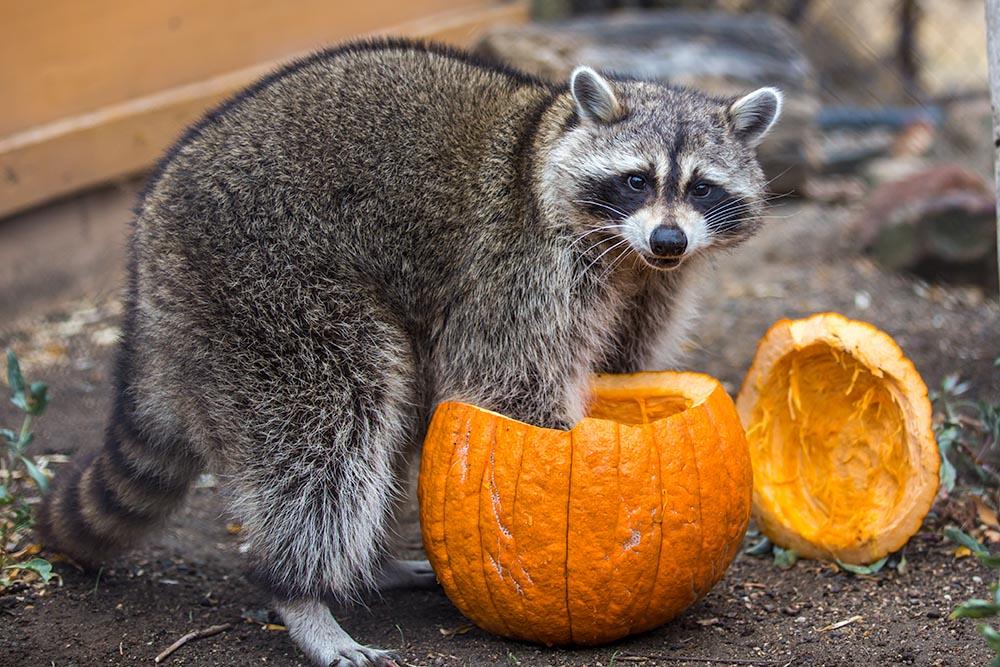 Ringo with Pumpkin