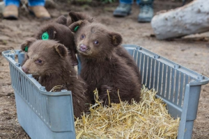 Orphaned Baby Bears arrive in April