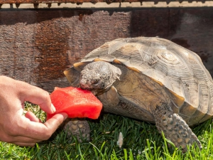 Tortoise with Watermelon