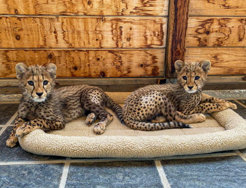 New Arrivals – Cheetah Cubs
