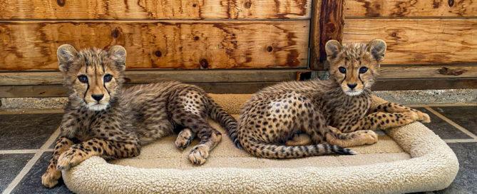 Two Cheetah Cubs